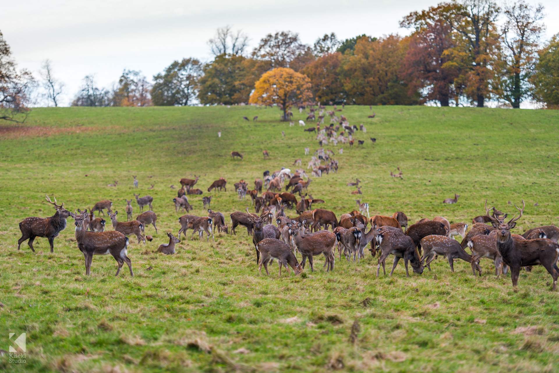 Studley Royal Park Deer eating together as a group in a line