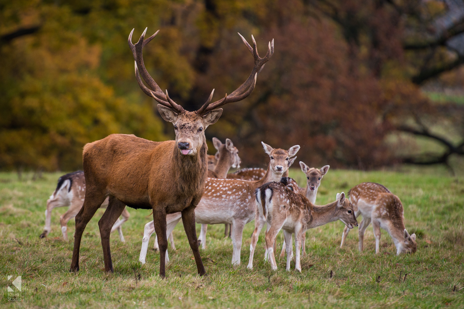 Studley Royal Park Deer eating together as a group